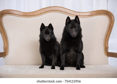 Couple of little black shepherd schipperke breed, male and female portrait, sitting
