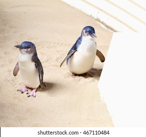 Couple of little blue penguins, Eudyptula minor, smallest penguins on earth. At Penguin Island, Rockingham, Western Australia.