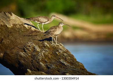 Couple of long-billed curlews (Numenius americanus) sitting on the wood. Wildlife scene from river Tarcoles, Costa Rica