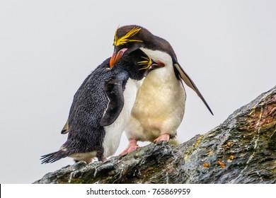 Couple Macaroni penguins in love, South Georgia, Antarctic