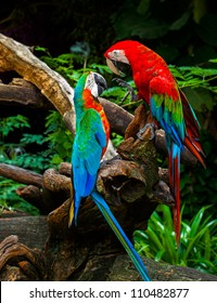 couple of macaw parrots kissing with love on wood branches in nature
