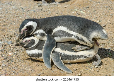 Couple of magellanic penguin mating at Punta Tombo, Argentina