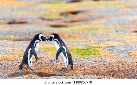 Couple of Magellanic Penguin, Spheniscus magellanicus, Isla Magdalena, Patagonia, Chile. With selective focus