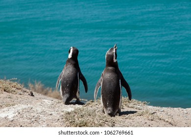 A couple of Magellanic Penguins dwelling by their nest at the rocks above the beach at Valdes Peninsula, Patagonia, Argentina.