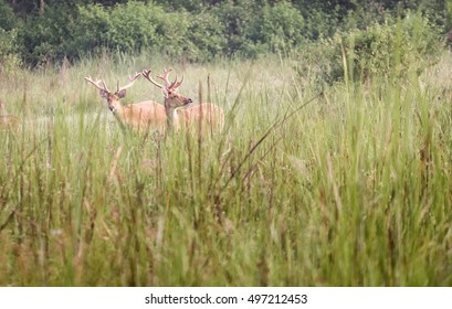 A couple of male Barasingha deer in tall grass