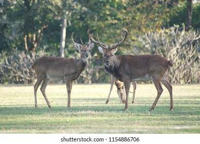 A couple of male eld's deer standing in open area at zoo