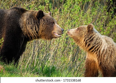 Couple of male and female brown bear, ursus arctos, looking at each other in spring nature. Bonding emotional moment between two wild animals in mating season. Courtship of furry mammals.