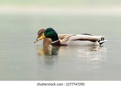 Couple of mallard duck are swimming in the lake
