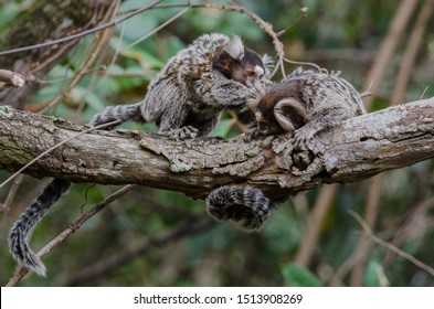 Couple of marmosets (Callithrix jacchus) monkeys picking lice on a branch