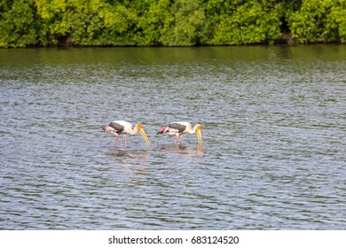 Couple milky stork are fishing in swamp. (Mycteria cinerea)
