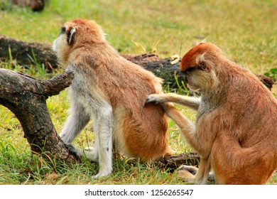 Couple of monkey is grooming. Male monkey checking for fleas and ticks in female. Monkey family fur on pair of show grooming on grass in natural environment at zoo. Patas monkey is type of primates.
