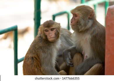 couple of monkey in Kathmandu with blurred background