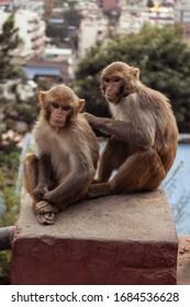 A couple of monkeys captured on Swayambhunath, Kathmandu, Nepal, the World Heritage Side declared by UNESCO