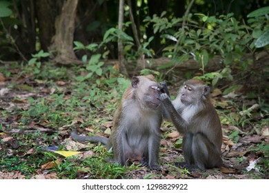 Couple of monkeys in the wild. This long-tailed brown macaque, is a cercopithecine primate native to Southeast Asia. This one was shot on Langkawi Island, Malaysia