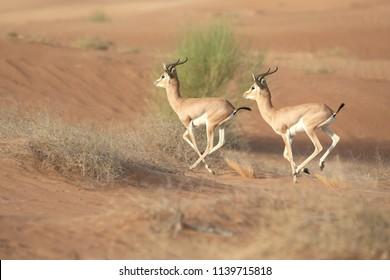 Couple of mountain gazelles running in the desert dunes. Dubai, UAE.