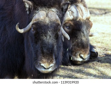 couple of musk ox  lying on the grass close-up. Hoofed animals of mountains.