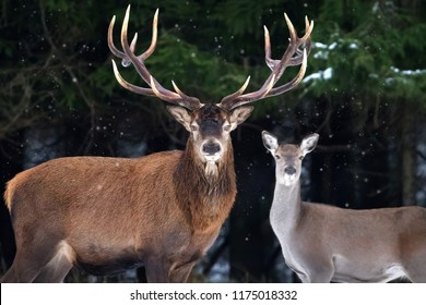 Couple of noble deer in a snowy winter forest. Natural winter image.