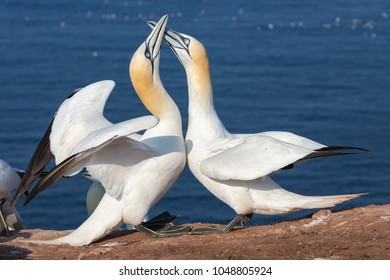Couple of Northern gannets greeting each other in breeding colony at Helgoland island, Germany