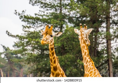 couple of nubian giraffe head, sub specie of the northern giraffe, Critically Endangered animal specie from Africa
