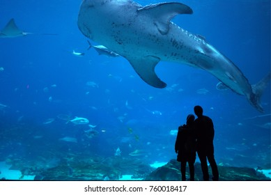 Couple Observing Giant Whale Shark in Atlanta Aquarium