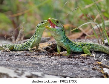 Couple of ocellated lizards (Timon lepidus) standing on a rock. Male and female reptiles mating. Beautiful and colorful green and blue lizards from Spain in natural mediterranean environment.  - Shutterstock ID 1982217308