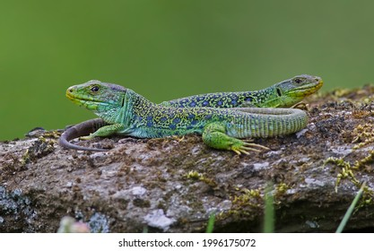 Couple of ocellated lizards (Timon lepidus) standing together on a rock. Male and female reptiles sunbathing. Beautiful and colorful green and blue lizards from Spain in natural environment. - Shutterstock ID 1996175072
