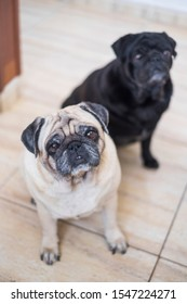 Couple of old adorable lovely pug dog sit down together at home on the floor looking at you waiting for food or tenderness