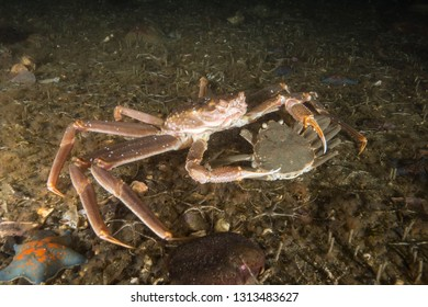 A couple of opilio crab in the deep of the East Sea