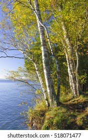 A couple Paper Birch trees cling to the edge of a bluff above Lake Michigan at Cave Point County Park in Door County, Wisconsin