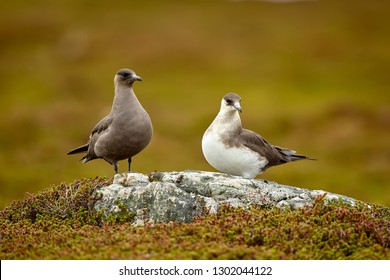 Couple of Parasitic Jaeger (Stercorarius parasiticus) sitting on a stone in the Norwegian Tundra. Wildlife scene from Varangerfjord.
