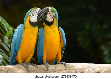 Couple of Parrot Yellow and blue feather kiss