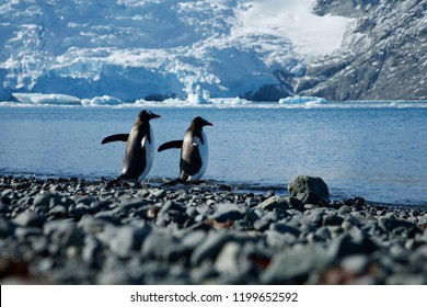 A couple of penguins rush together for icy water on beautiful day on King George Island, Antartica.