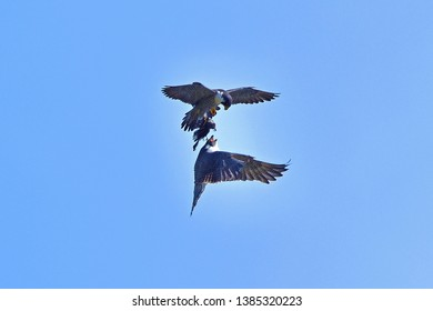 Couple of Peregrine Falcon (Hayabusa) is raising their baby with cooperation