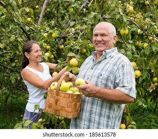 Couple picking apples in  basket.