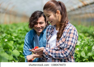 Couple is picking strawberries in the strawberry field