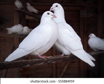 Couple of pigeons sitting at the branch