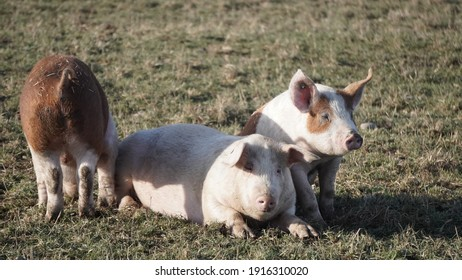 couple of pigs in green grass, Outdoor, Farm Germany