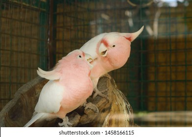 Couple of pink major mitchell's cockatoos fighting on a branch and playing with each other. Rare endangered species of Australia parrot. Smart Talking Pet Lophocroa leadbeateri.