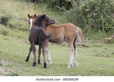 A couple of Pottoka foals playing (Jaizkibel, Guipuzcoa, Spain).