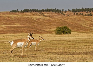 A couple of pronghorns in Custer State Park, South Dakota