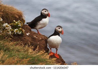 Couple of Puffins on the rocks at Latrabjarg Iceland with the ocean on the background