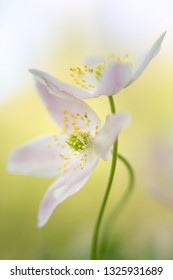 A couple of pure white wood anemones entangled in a loving embrace. Anemone nemerosa, macro of a beautiful spring forest flower. Soft focus image with shallow DOF