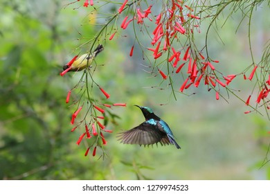 Couple of Purple-throated Sunbird with flowers