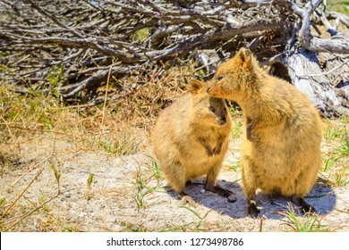 A couple of Quokka, Setonix brachyurus. Rottnest Island near Perth, Western Australia, is the primary home of the quokka, a type of marsupial. Quokka is considered the happiest animal in the world.