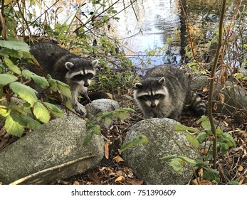 Couple of raccoons walking in Stanley Park, Vancouver, Canada