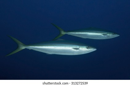 COUPLE OF RAINBOW RUNNER SWIMMING ON BLUE WATER