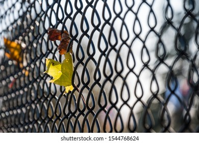 couple red and yellow fall leaves stuck on the metal net fence under the sun