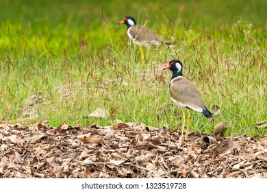 A couple of Red-Wattled Lapwing birds standing on the lawn