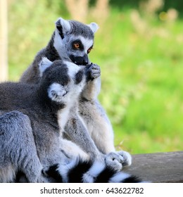 A couple of Ring-tailed Lemurs; one feeding the other