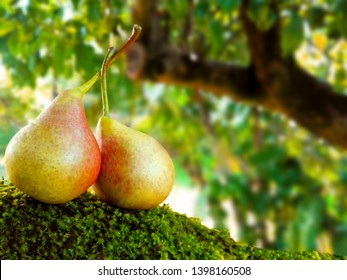 Couple ripe yellow pears on green pears tree leaves background. Fresh ripe yellow pears couple harvest in green orchard. Organic two pears - relations, love, couple, care, diet concept. Space for text